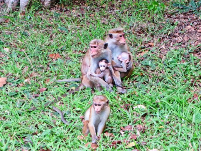 pack of monkeys