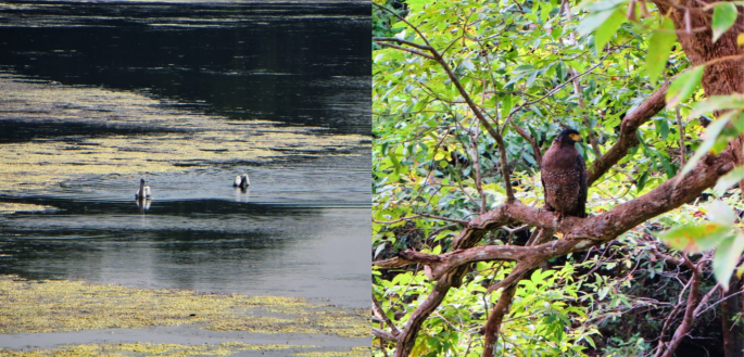 collage of swans in the water and a falcon on a branch in the jungles of Sri Lanka