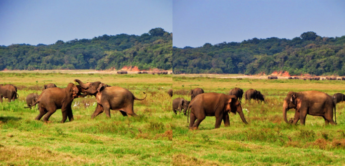 A couple of elephants fight in the fields of Minneriya Park.