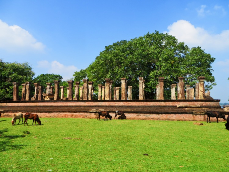 cows grazing in front of an ancient palace complex in Polonnaruwa