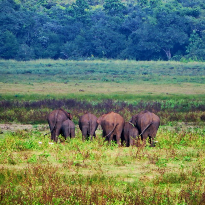 six elephants grazing in Minneriya National Park