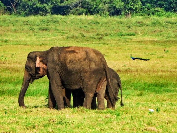 elephant mother and baby grazing in Minneriya Park