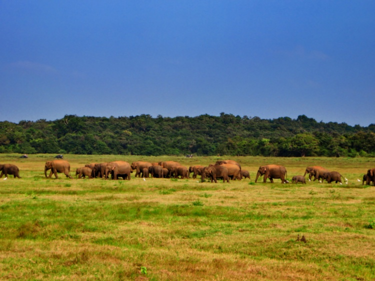 herd of elephants walk across the open fields of Minneriya Park