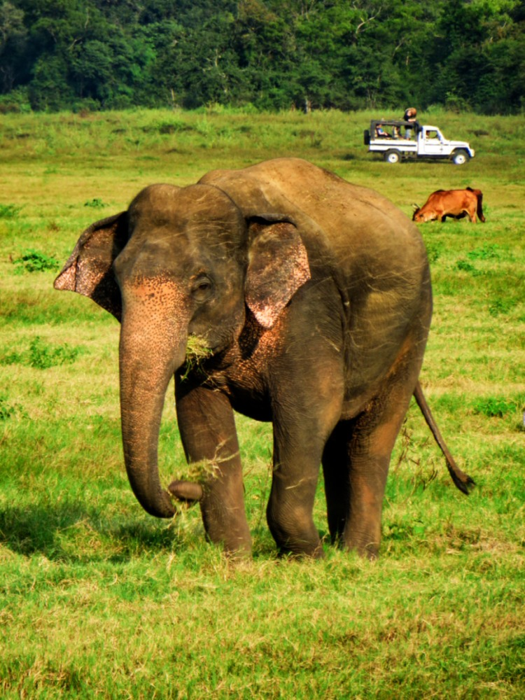 an elephant eating grass in Minneriya Park