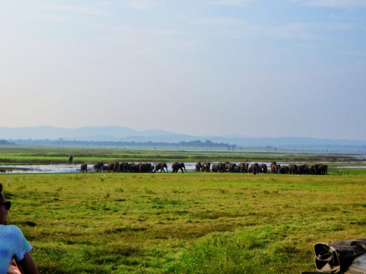 herd of elephants gather around a drinking hole in Minneriya Park