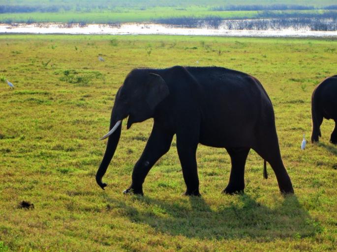 an elephant with tusks walk across the fields of Minneriya Park