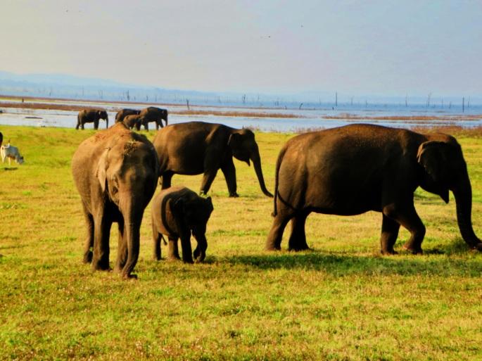 a family of elephants grazing in Minneriya Park