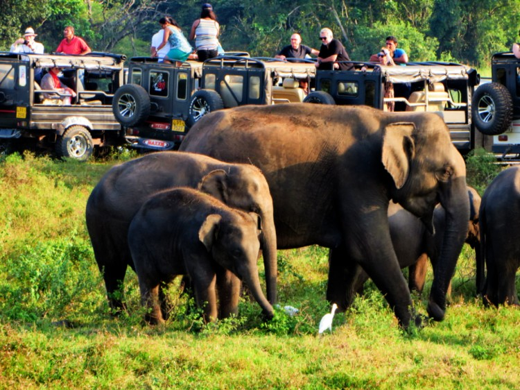 Herd of elephants roam across the park with tourists around them
