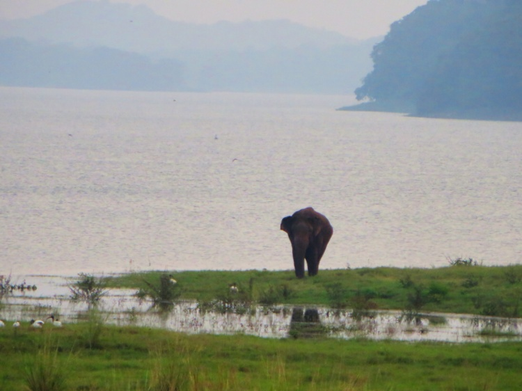 an elephant wanders free by the ancient  reservoir in Polonnaruwa